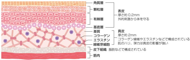 真皮にあるエラスチンを示す図