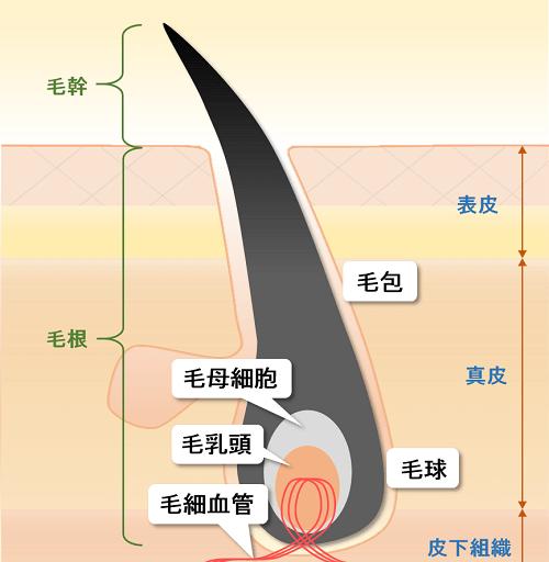 毛穴と皮膚の解体図