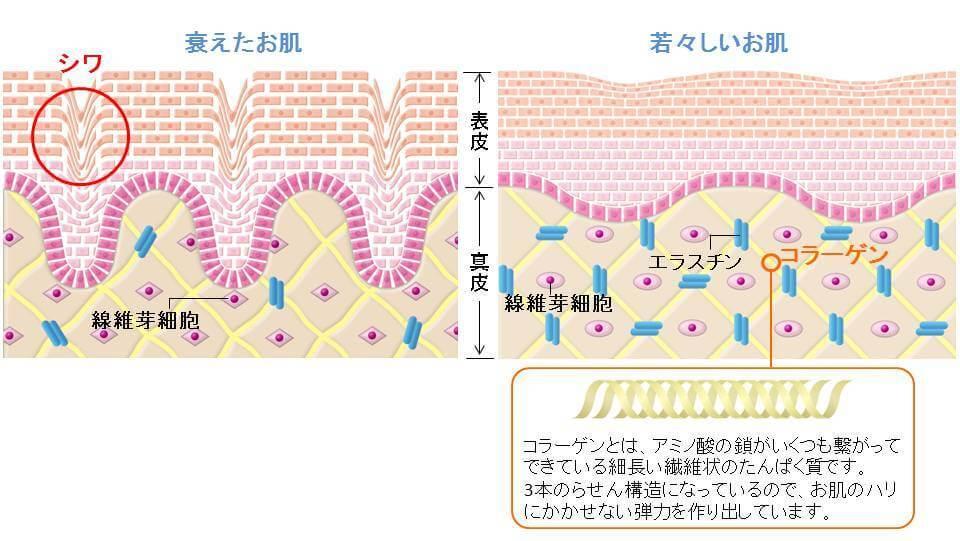 コラーゲンが少ない肌とコラーゲンが豊富な肌