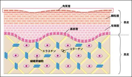 真皮の細胞外マトリクス