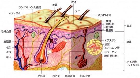 皮膚細胞の構造の全体像