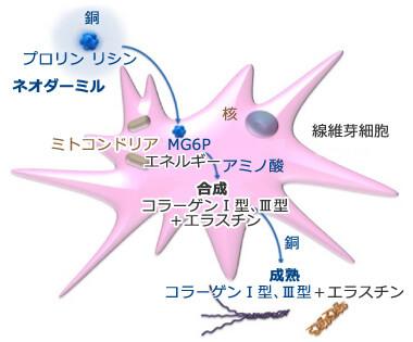 ネオダーミルのメカニズムを示すモデル図