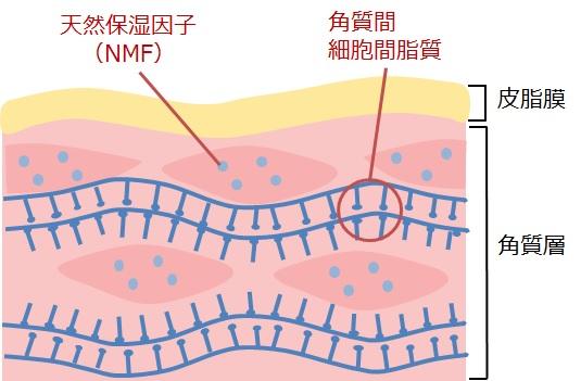 NMF(天然保湿因子)の図