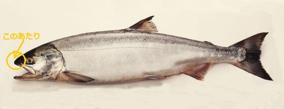 鮭の鼻軟骨の写真