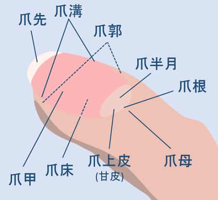 爪の各部位の名前が書かれたイラスト