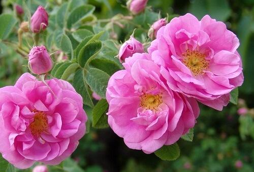 ダマスクローズの花の写真