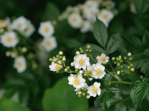 ノイバラの花の写真