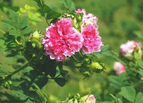 イザヨイバラの花の写真