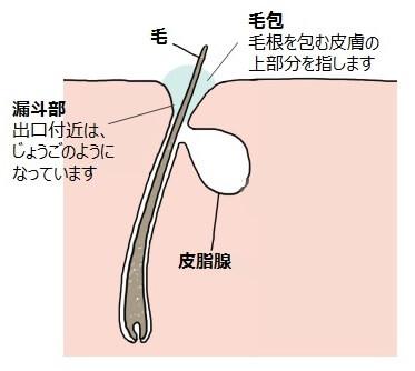 皮脂腺をモデル化した図