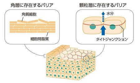 タイトジャンクションのモデル図