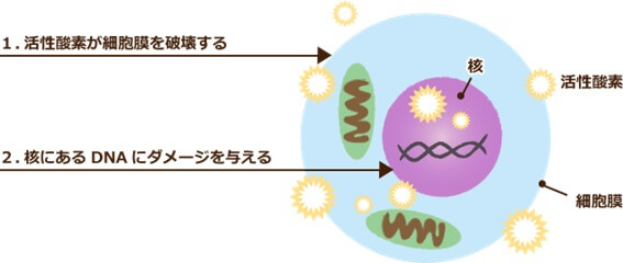 活性酸素が細胞膜にダメージを与え、ターンオーバーを乱す図