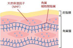 皮脂膜・角質層の断面図