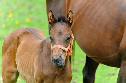 馬プラセンタの原料になる馬の胎盤