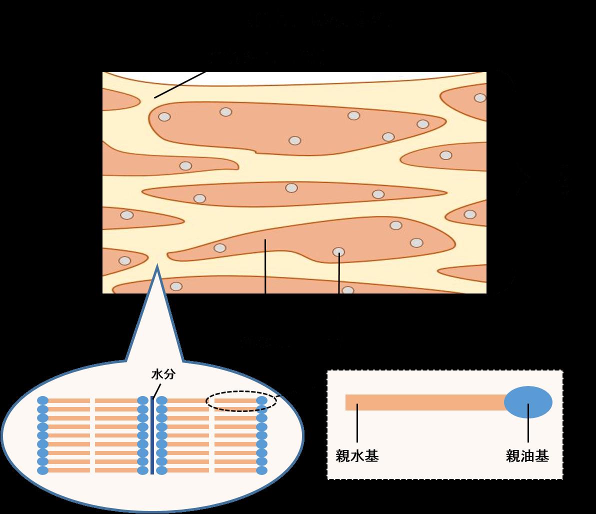 角質層の模式図