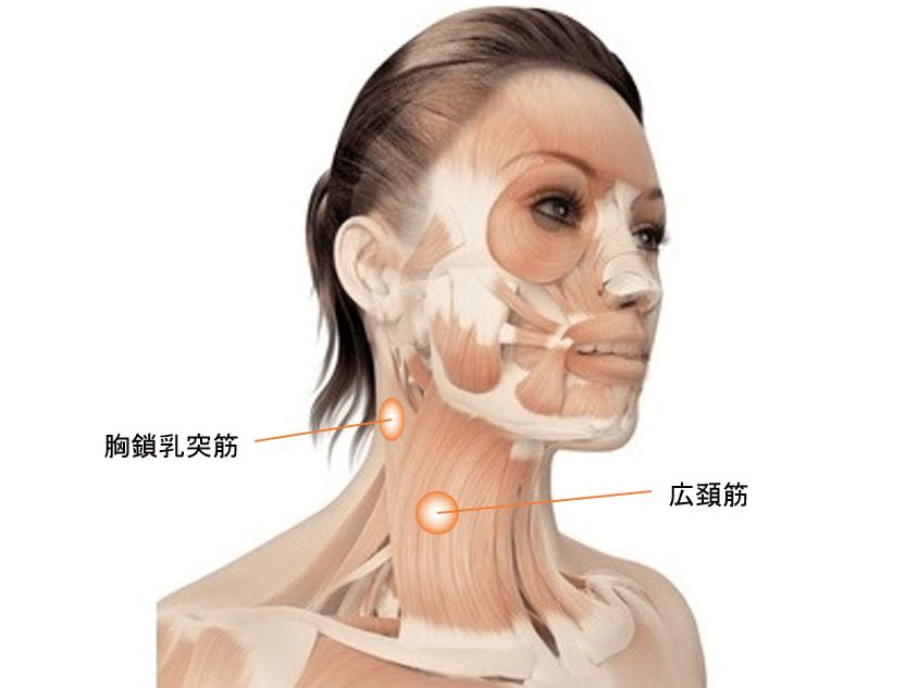 首の筋肉のイメージ