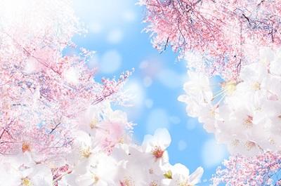 春、4月を象徴する桜の花