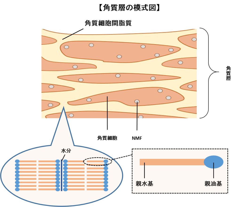 表皮の角質層の断面図