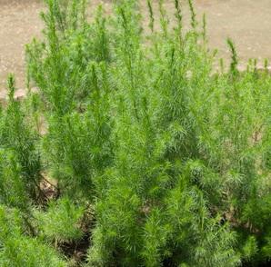 カワラヨモギ花エキスの原料カワラヨモギの写真