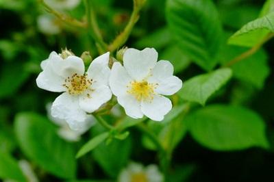 ノイバラ果実エキスの花