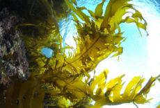 褐藻エキスの原料のワカメ