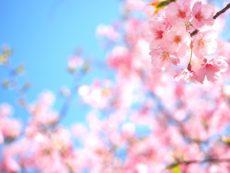 春に咲くきれいな桜