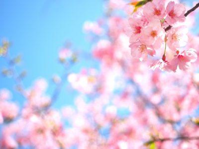 春の季節の代表である桜