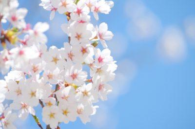 春の紫外線と桜