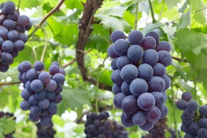 抗酸化効果のあるブドウ葉/種子/皮エキスの原料のイメージ