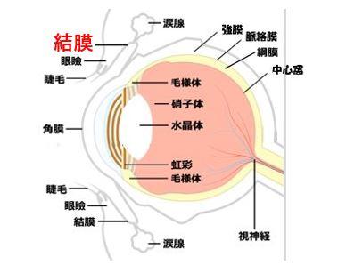 目の構造 結膜