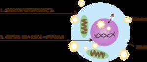 紫外線の活性酸素によるコラーゲンへのダメージのイラスト